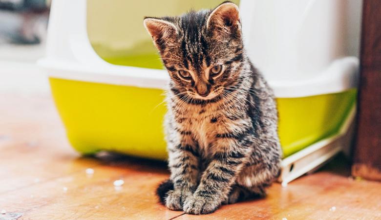 Kitten vor Katzenklo